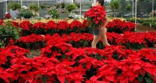 México exporta Nochebuenas a Norteamérica, Europa y Asia