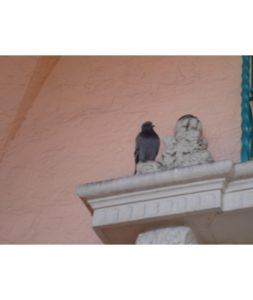 pigeon-on-ledge