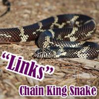 Chain_King_Snake