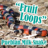 Pueblan_Milk_Snake