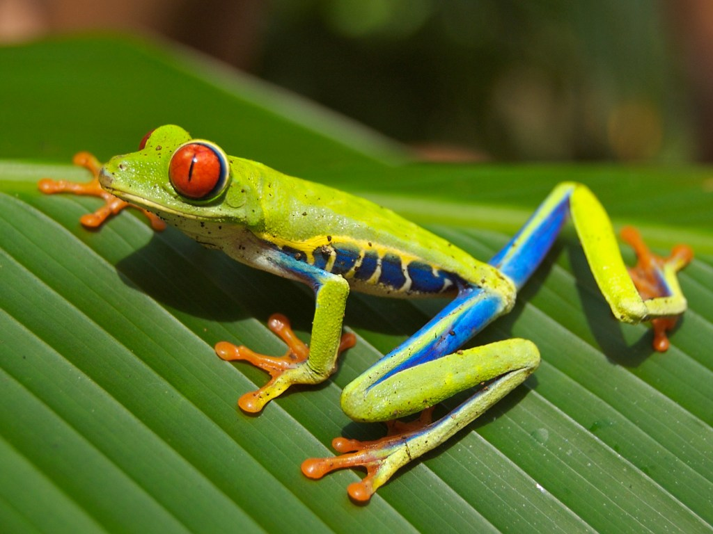 Red eyed tree frog edit