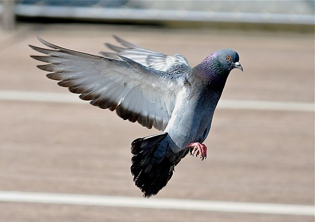 px Feral pigeon about to land