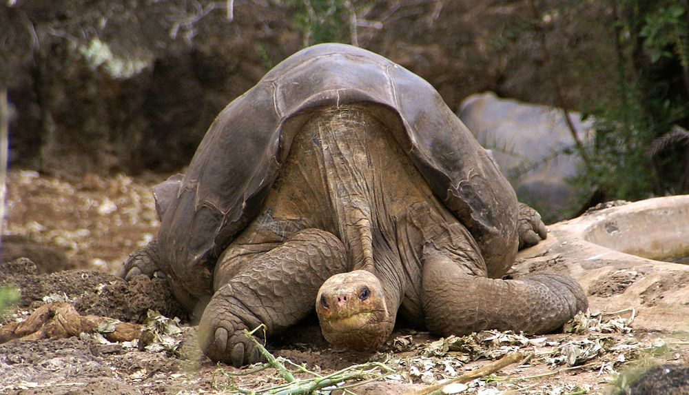 px Lonesome George Pinta giant tortoise Santa Cruz jpg x q crop smart