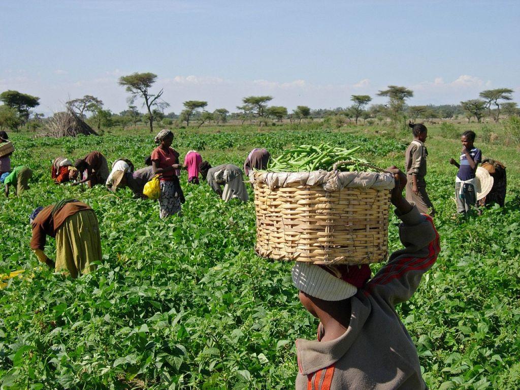 px Harvesting beans ()