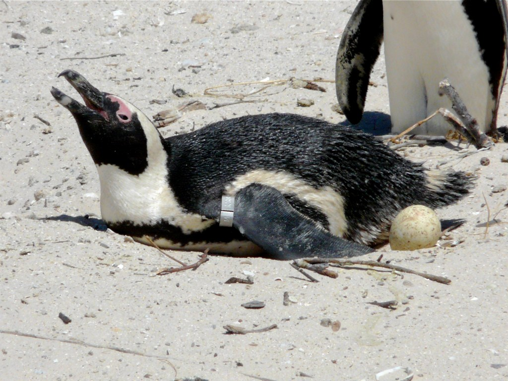 African Penguin laying an egg