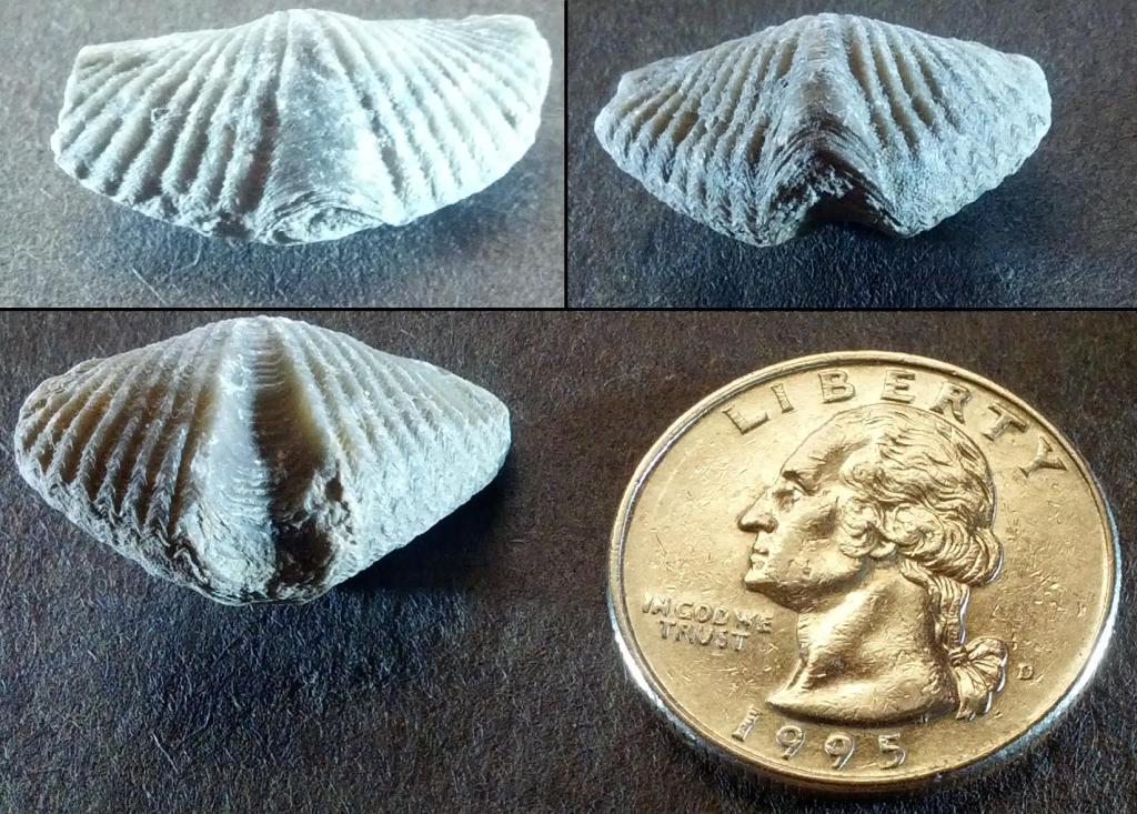 Brachiopods with U S quarter (Photo by John Mortimore)