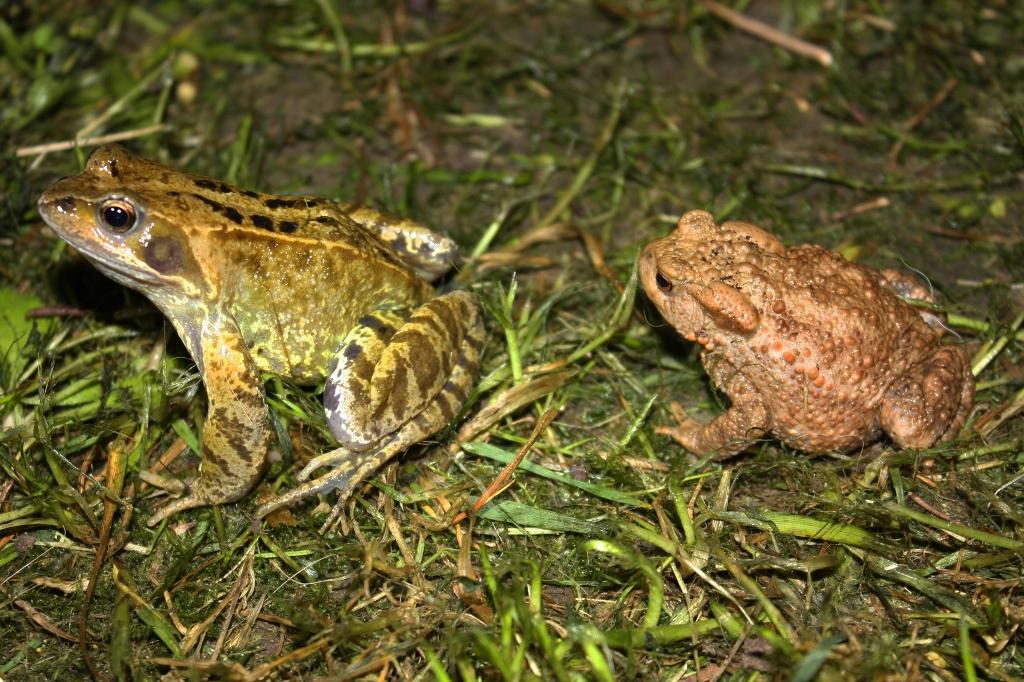 European Common Frog (Rana temporaria) & European Toad (Bufo bufo) ()