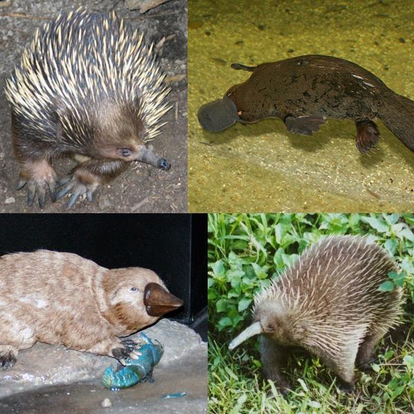 Prototheria collage