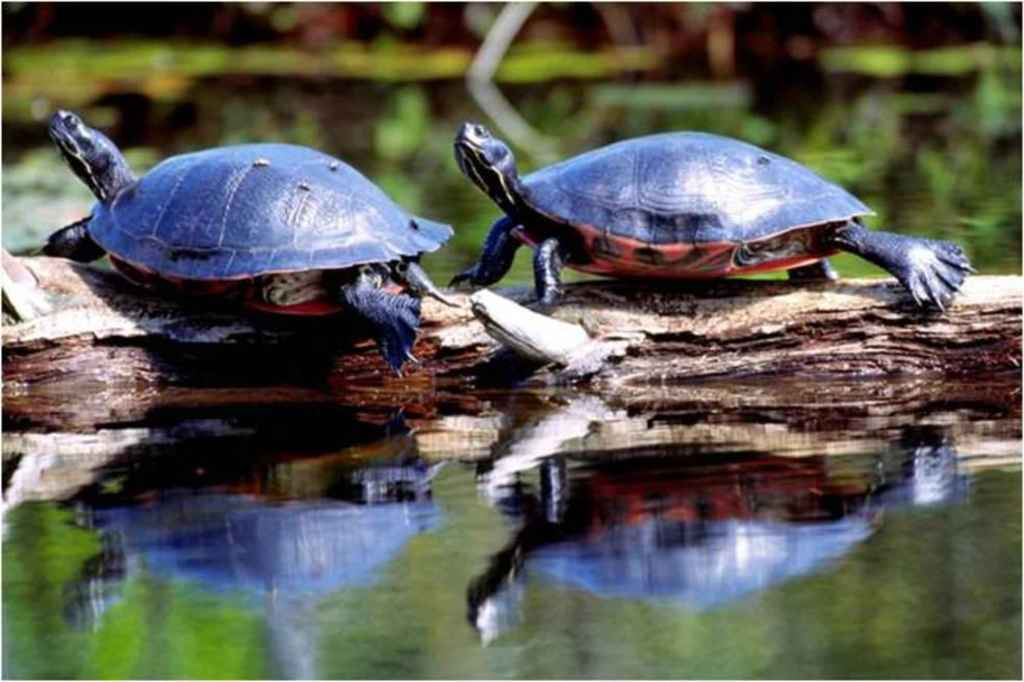 Pseudemys rubriventris basking northern red bellied crooters turtles