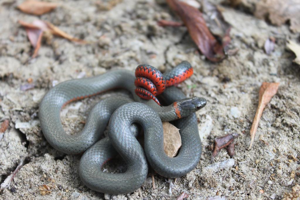 San Bernardino Ringneck Snake