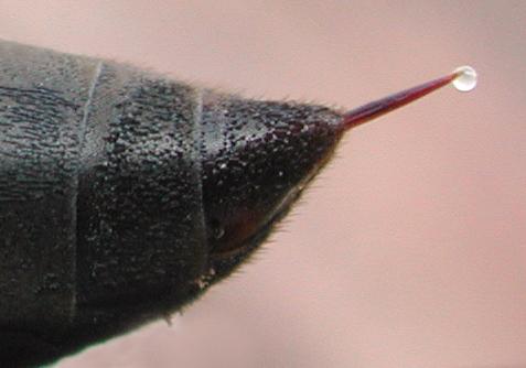 Waspstinger