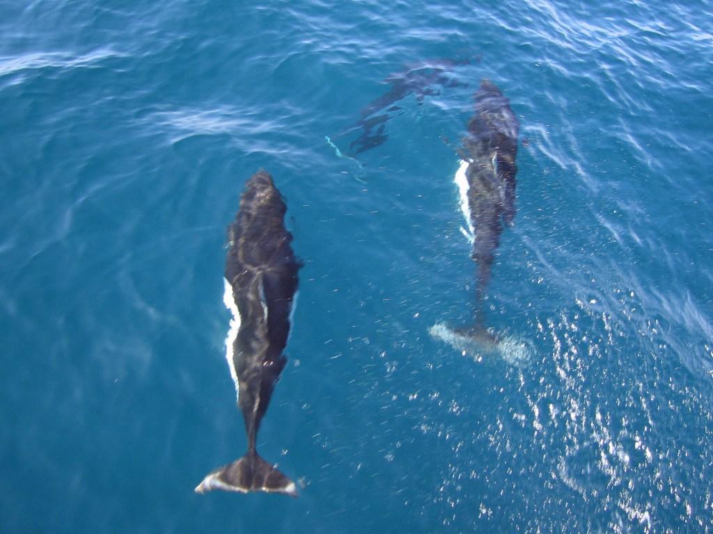 Dalls porpoises