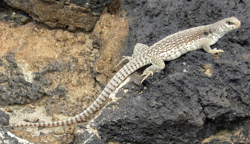 DesertIguana