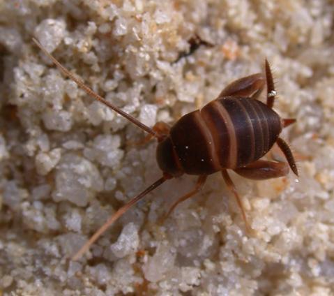 Myrmecophila acervorum
