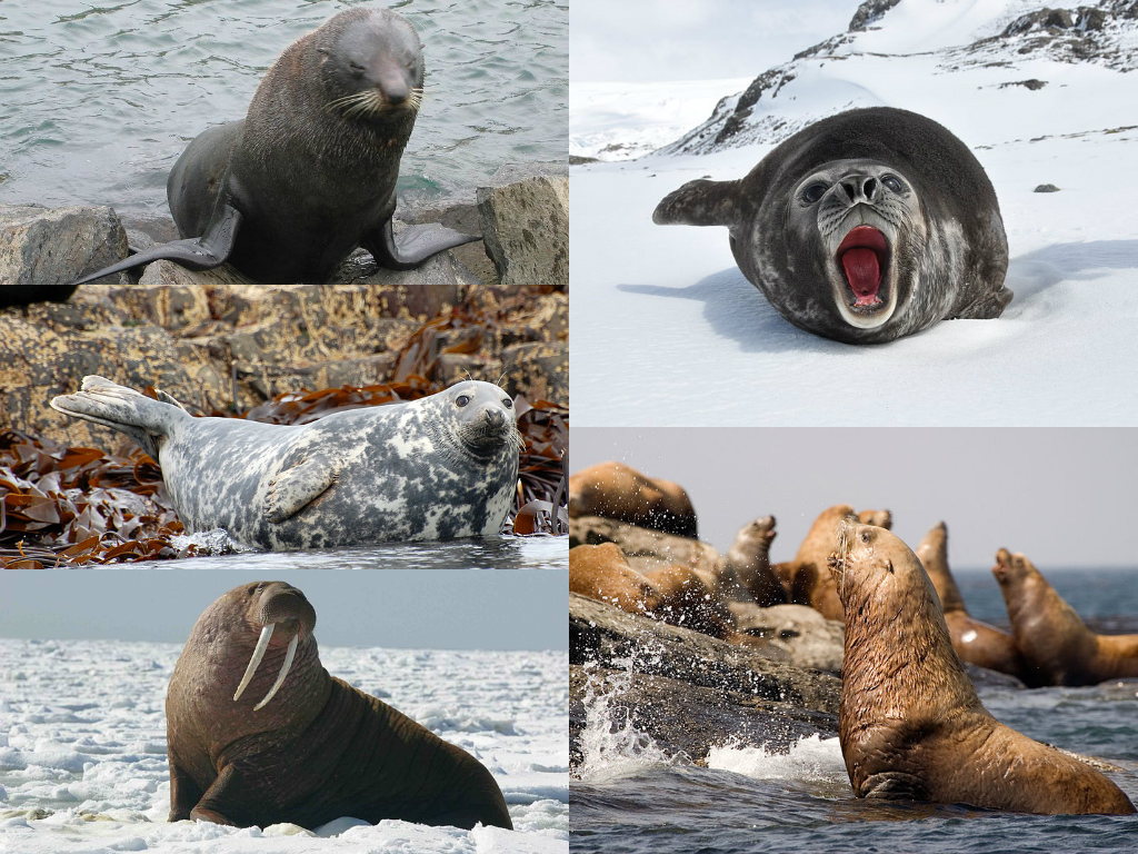 Pinniped collage