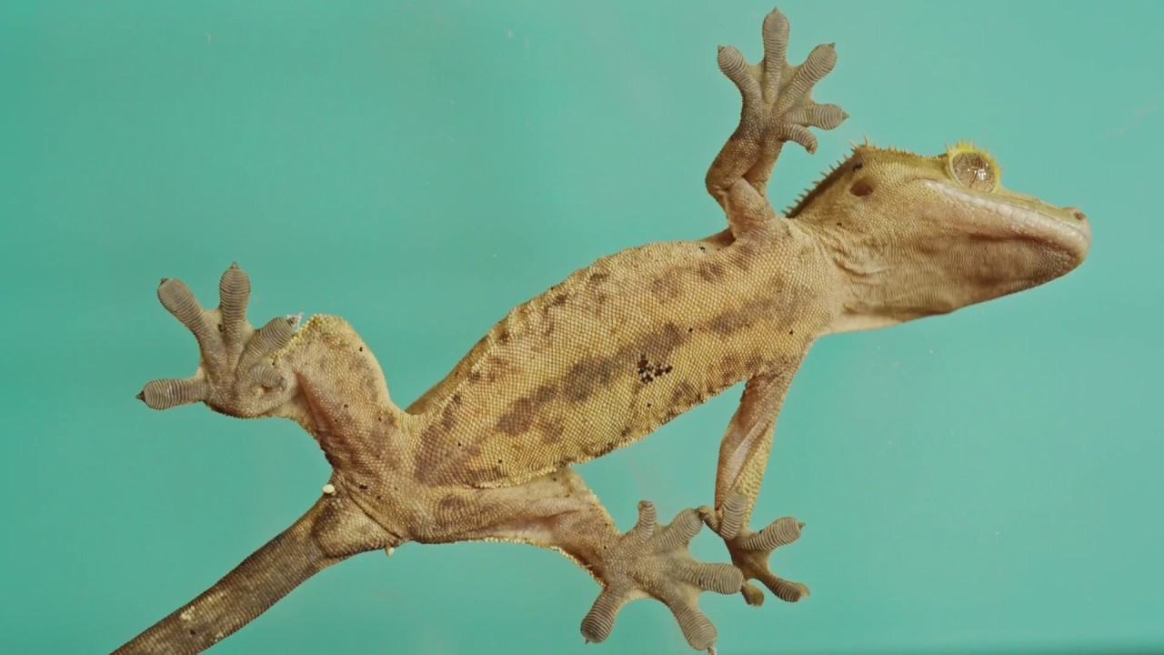 crested geckos are soo cool critter squad wildlife defenders education appreciation conservation