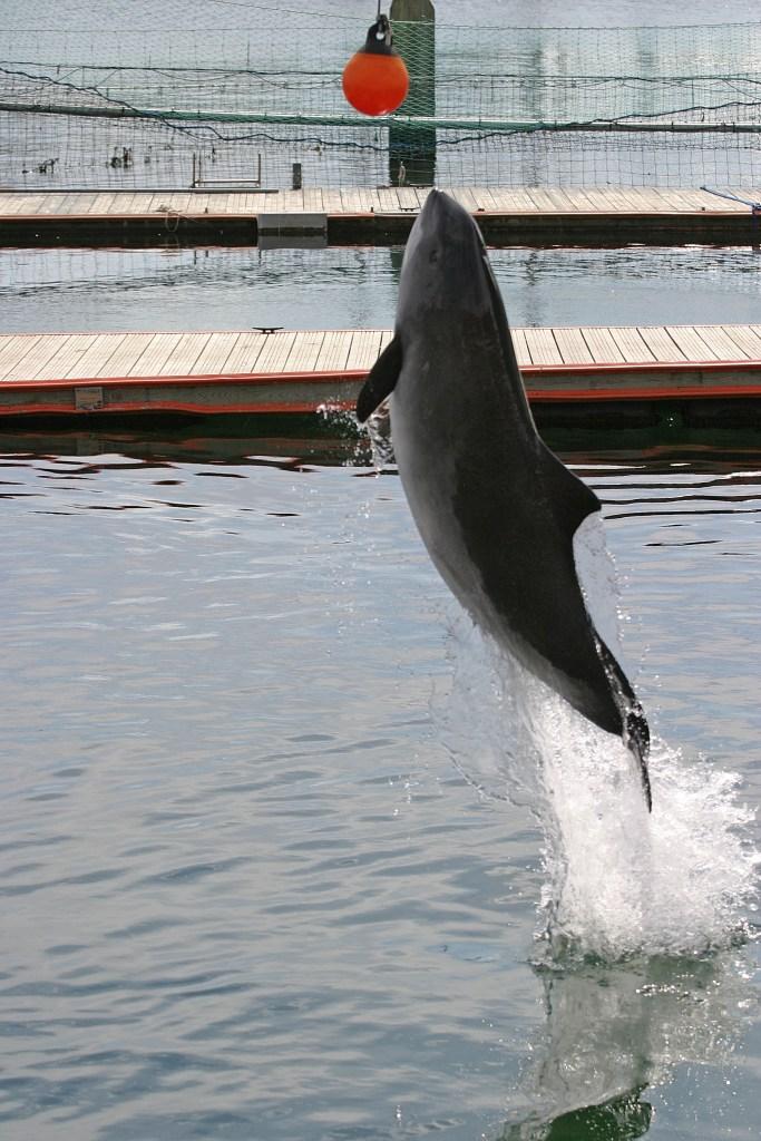 Harbor Porpoise Fjord Baelt Denmark