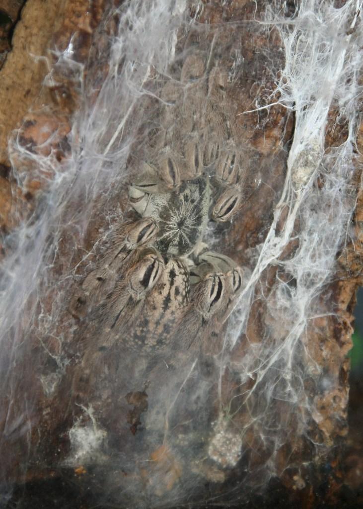 Togo Starburst Tarantula Heteroscodra maculata