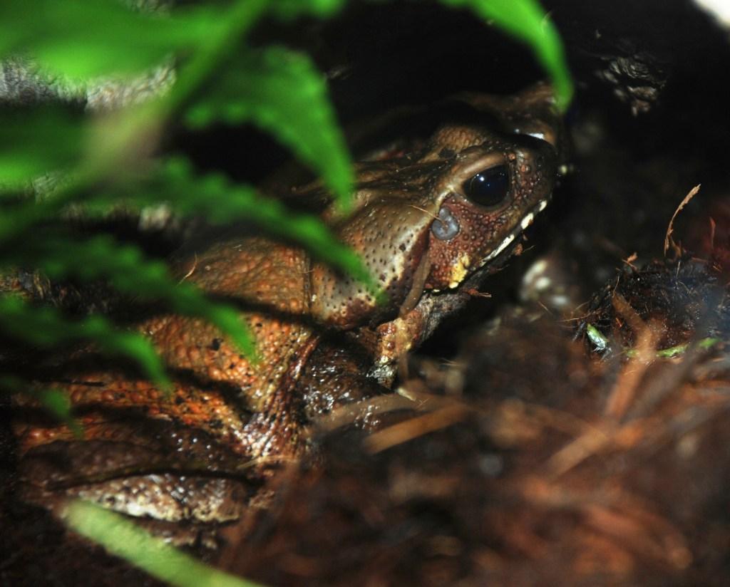 Washington DC Zoo Bufo guttatus
