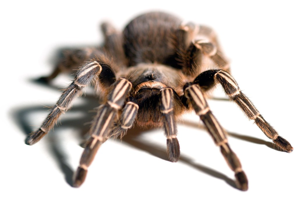 Aphonopelma seemanni front view