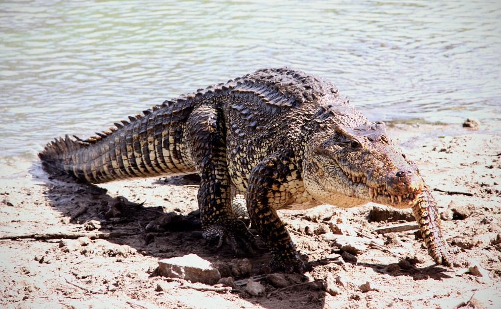 Cuban crocodile (Rhombifer)