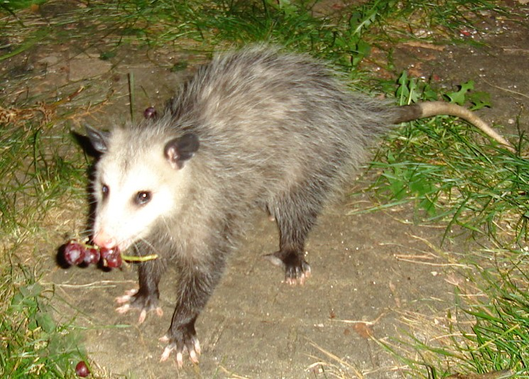Opossum with grapes