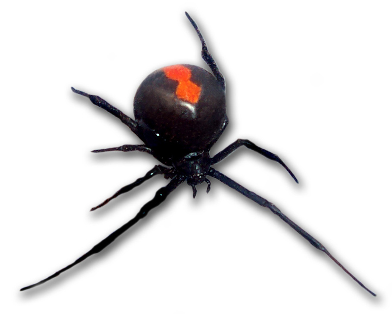Redback frontal view