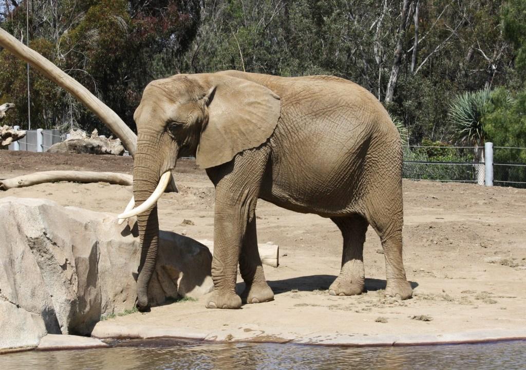 African bush elephant in San Diego Zoo