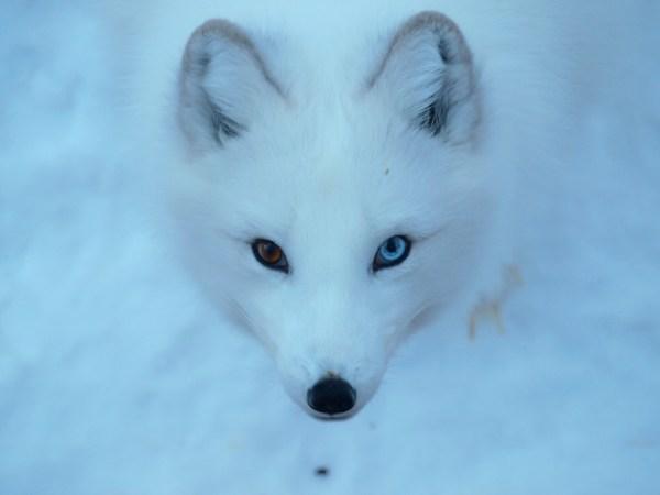 Arctic Fox Fact Sheet