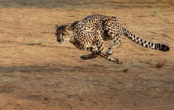 Cheetah Fact Sheet