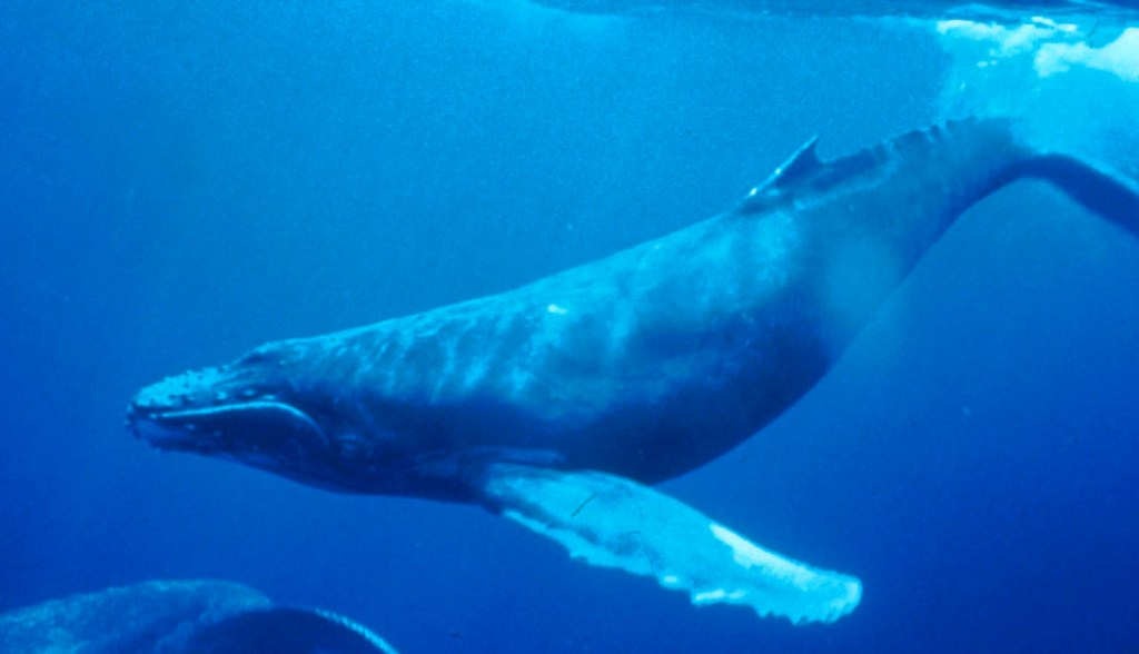 Humpback Whale underwater shot