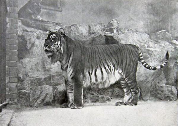 Caspian Tiger Fact Sheet