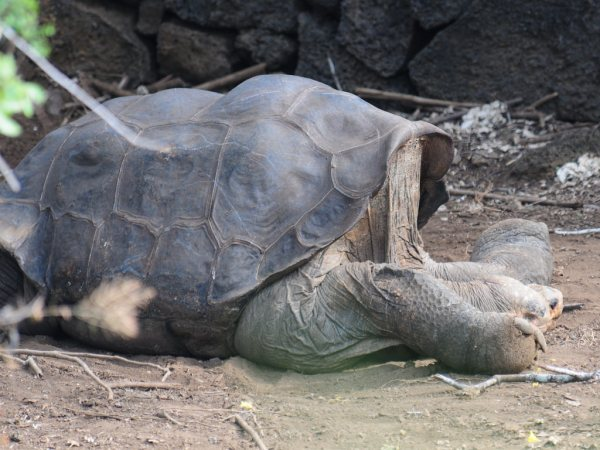Lonesome George Pinta Island Tortoise