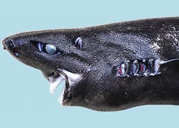 ninja shark head