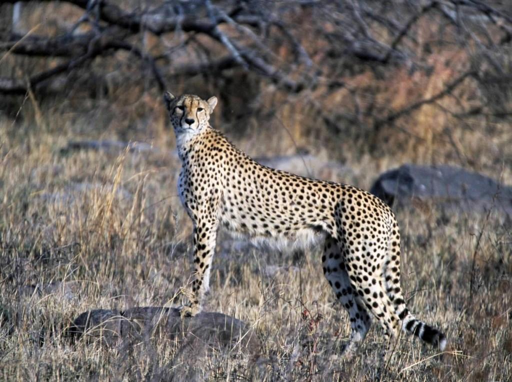 Cheetah (Kruger National Park, South Africa, )