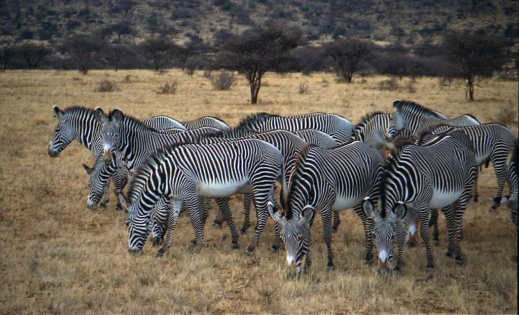 Samburu Grevy's zebra