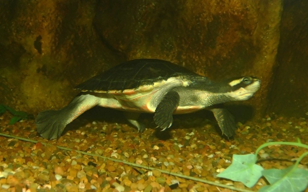 Common snakeneck turtle