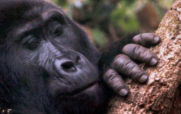 Mountain Gorilla Fact Sheet