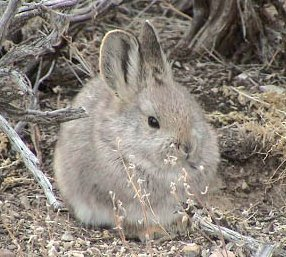 Pygmy Rabbit Fact Sheet