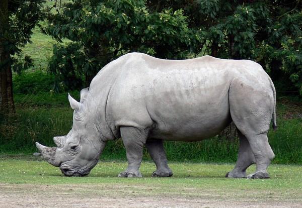 White Rhinoceros Fact Sheet