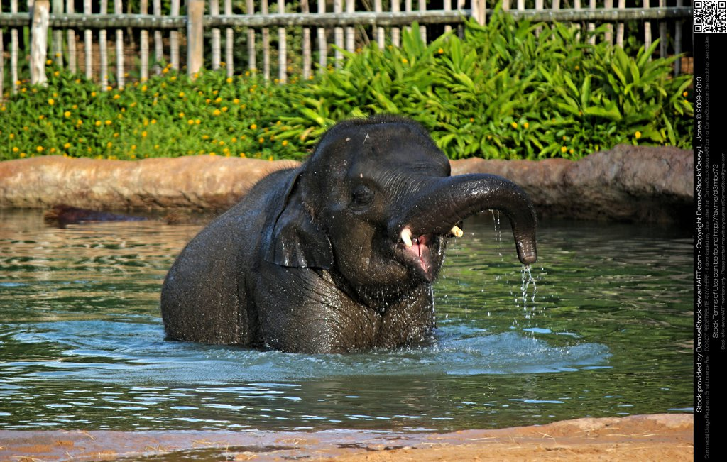 baby asian elephant playing in pool by damselstock dbgmll