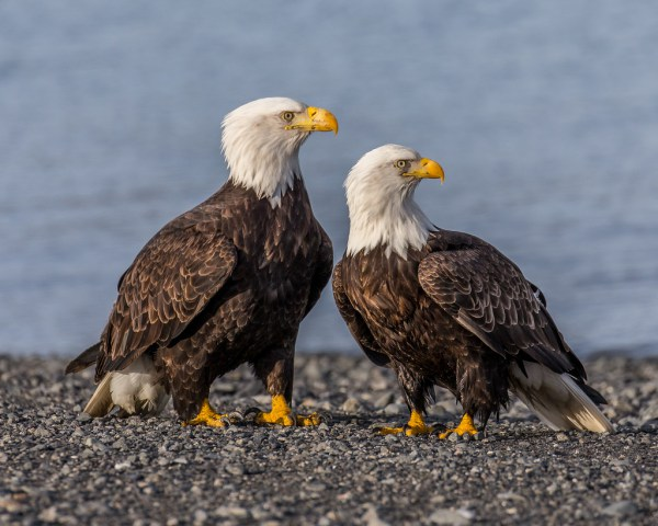 A Symbol of Greatness The Elegant Bald Eagle