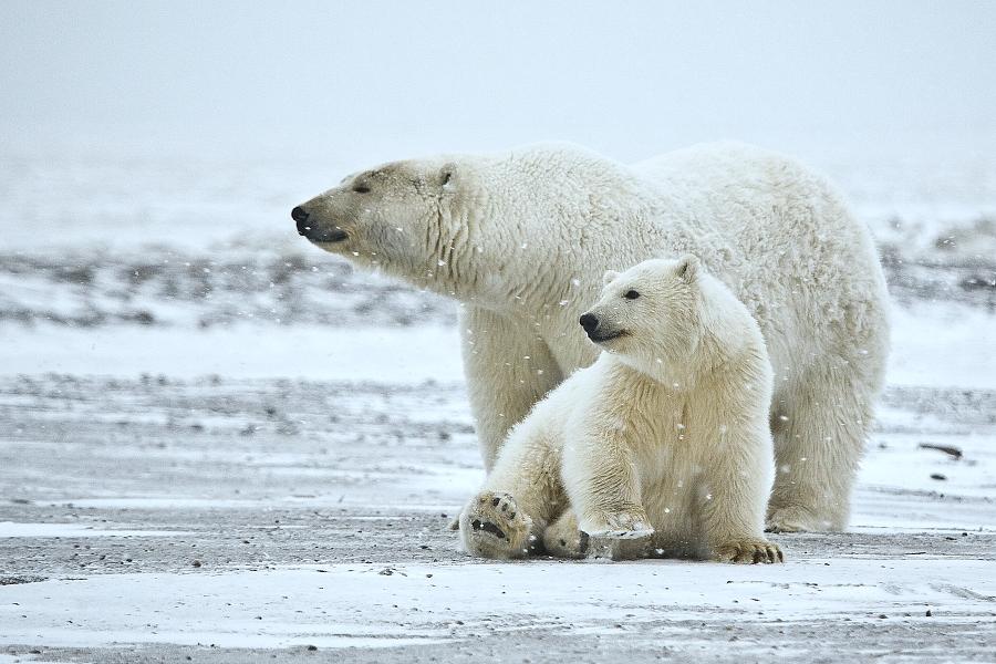 Polar Bear (Sow And Cub), Arctic National Wildlife Refuge, Alaska