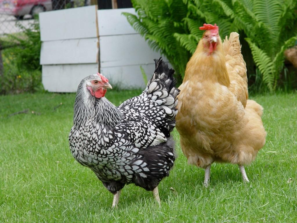 Anchorage chickens
