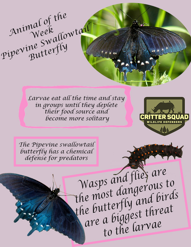 pipevine swallowtail animal of the week