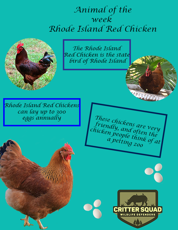 rhode island chicken