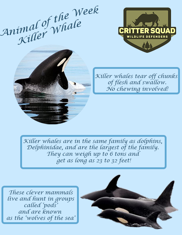Animal of the week killer whale
