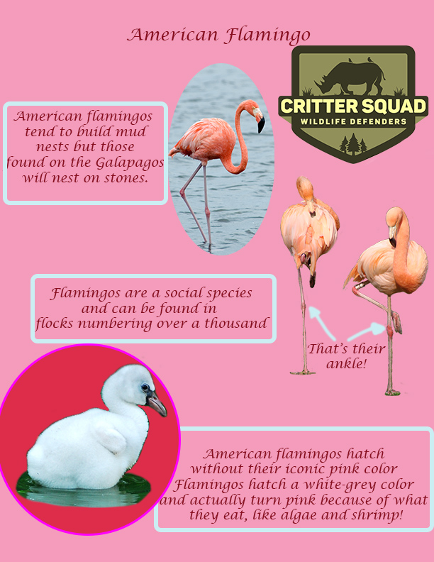 animal of the week american flamingo