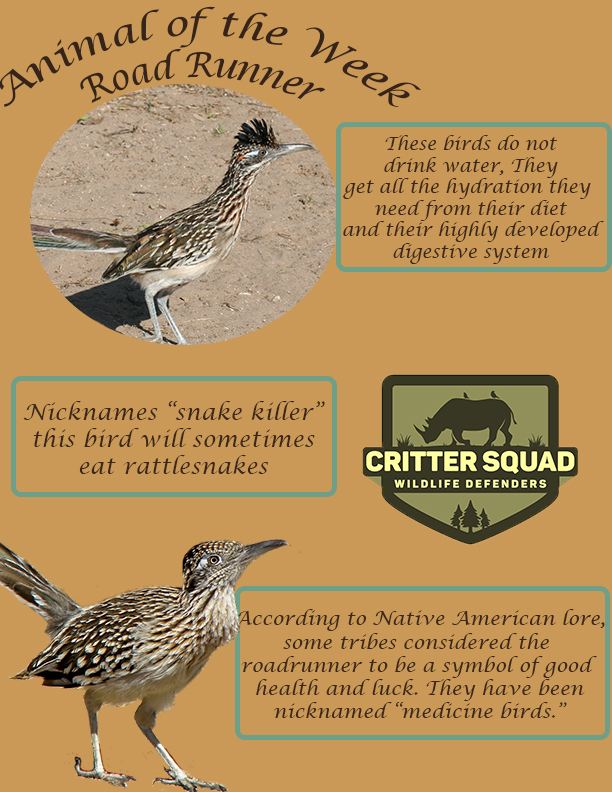 animal of the week road runner