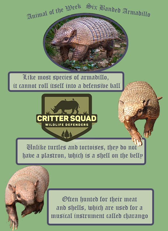 animal of the week six banded armadillo